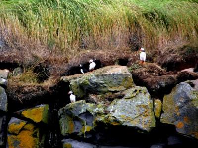 Icelandic Puffins