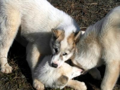 Greenlandic Sled Dogs