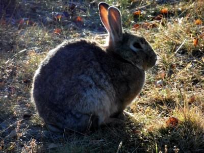 Icelandic rabbit